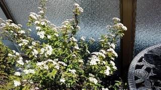 春の花小手毬20200419_130949.jpg